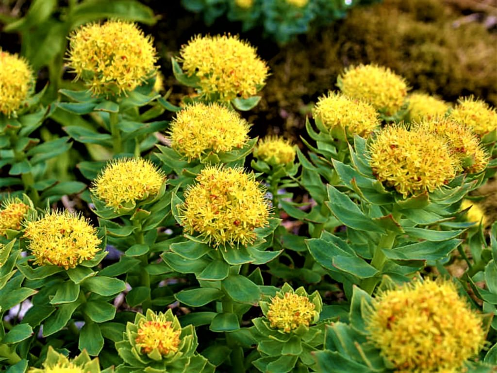 rhodiola for stress